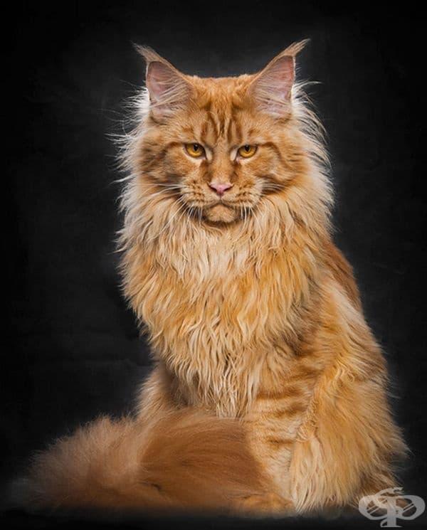25 снимки за Мейн Кун – кралете на котките