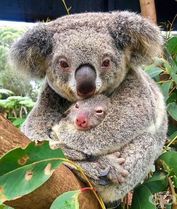 Малките коали се хранят с екскременти на родителите си, за да научат стомасите си да смилат отровните евкалиптови листа.