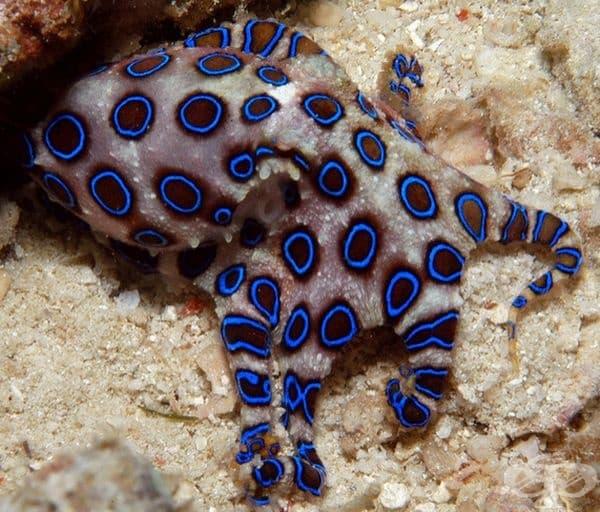 Октопод със синя разцветка.
