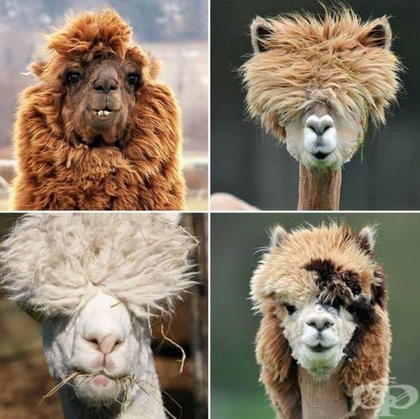 Няколко красиви лами с невероятни прически