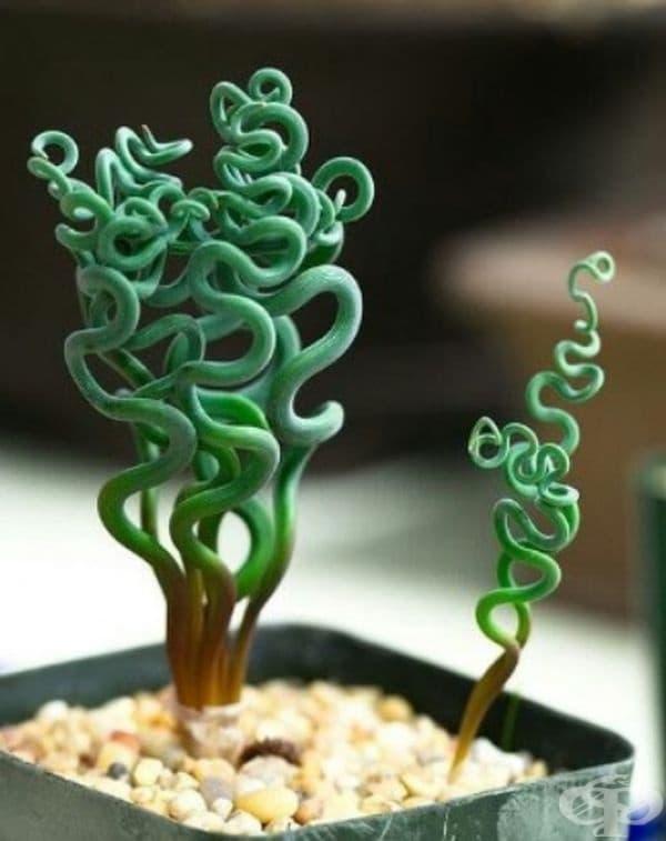Трахиандра. Растението изглежда като изкуствено, но всъщност е реално. Среща се в Източна Африка и е лесно за отглеждане. То е идеално допълнение към вашия декор.