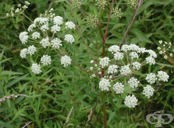 Цикута-отровното растение с най-силните невротоксини. Ефектът от неговата отрова е близо до стрихнин, който се използва като пестицид. Растението, особено коренът му, съдържа най-опасния цитрутоксин, който може да доведе до гърчове, гадене и дори смърт.