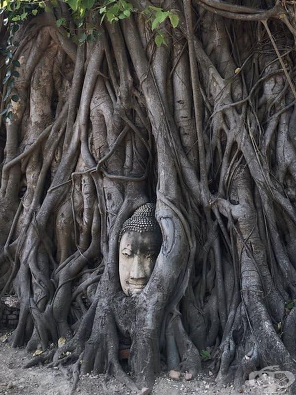 Статуя на Буда от 14 век, която е обхваната от банянски корени в Аютая, Тайланд.