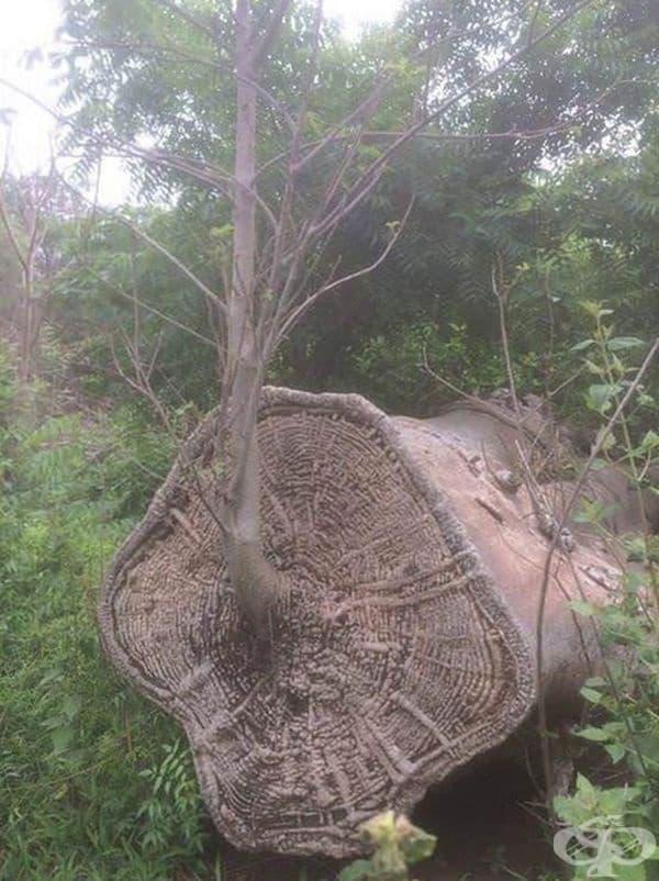 Дърво Баобаб, което продължава да расте, въпреки че е отсечено.