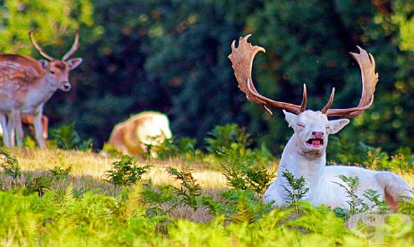 Просто снимка на елен албинос в момент на кихане.
