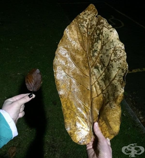 Масивно листо.