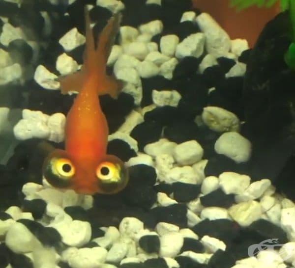 """Златна рибка """"Небесно око"""". Декоративна аквариумна риба с интересни изпъкнали очи и усмивка на лицето."""