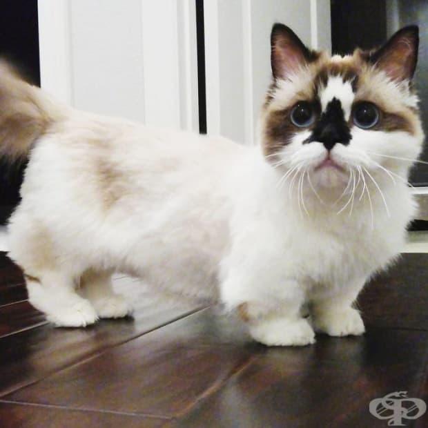 Запознайте се с Албърт, най-сладкото коте от породата Манчкин