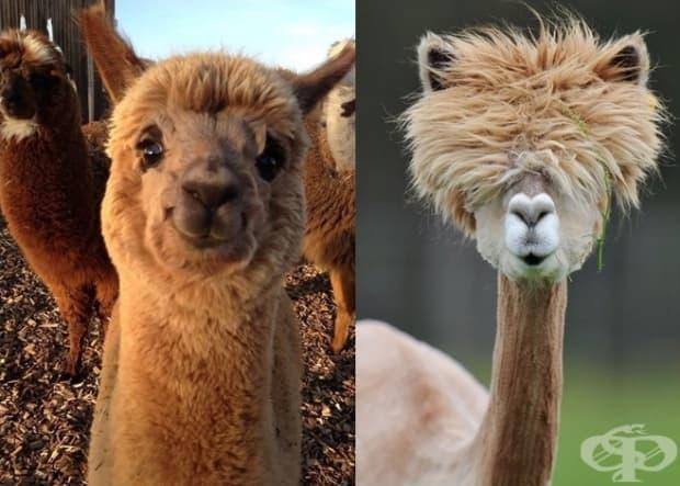 10 очарователни алпаки, които ще усмихнат деня ви