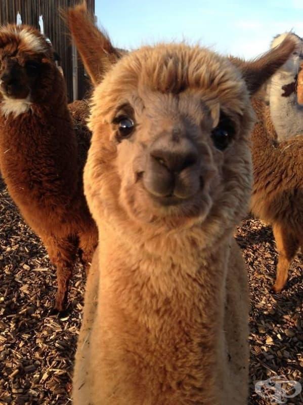 Сладка усмихваща се алпака