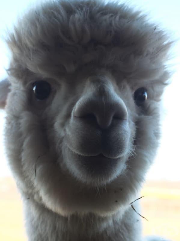 Пухкава усмихната алпака