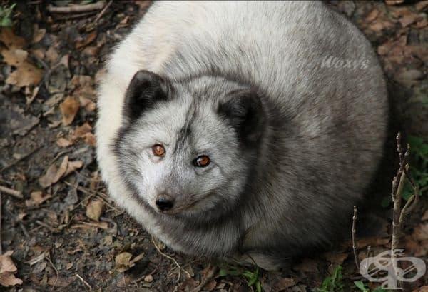 Арктическа лисица.