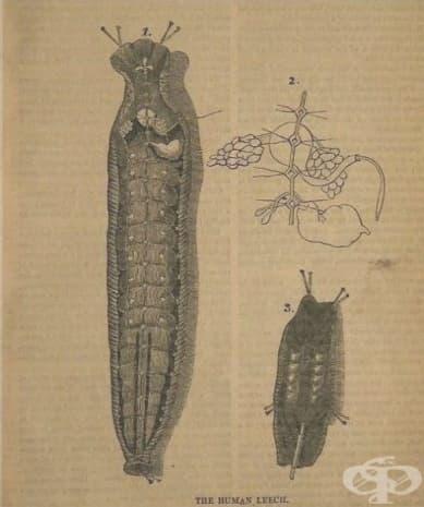 Илюстрация на устройството на пиявица.