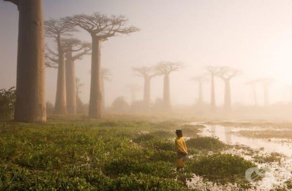 Боабаб, Мадагаскар.