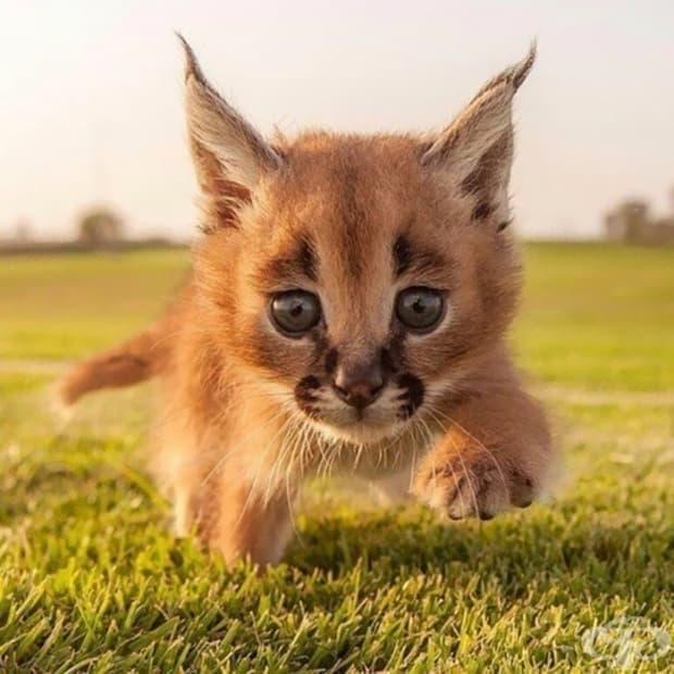 Не е ли това най-сладката порода котки, която някога сте виждали?