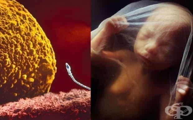 От зачеването до раждането – как се развива бебето в утробата