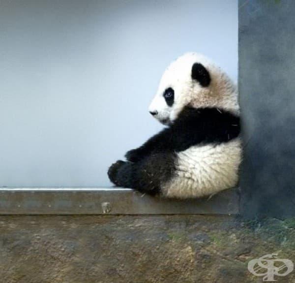 Пандичка