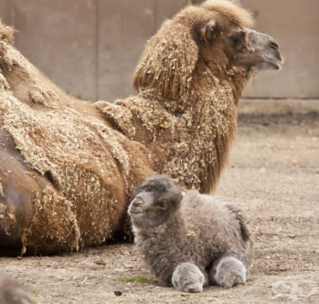 Бебе камилче