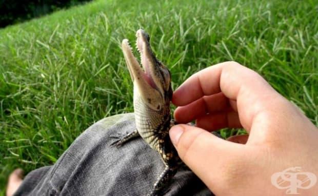 Бебе крокодил
