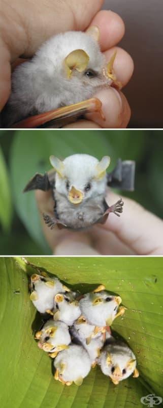 Пухкав хондураски бял прилеп