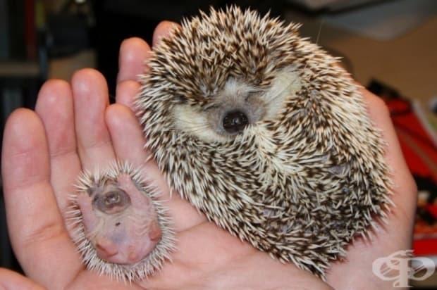 Бебе таралежче и майка му. Те ти пожелават страхотен ден!