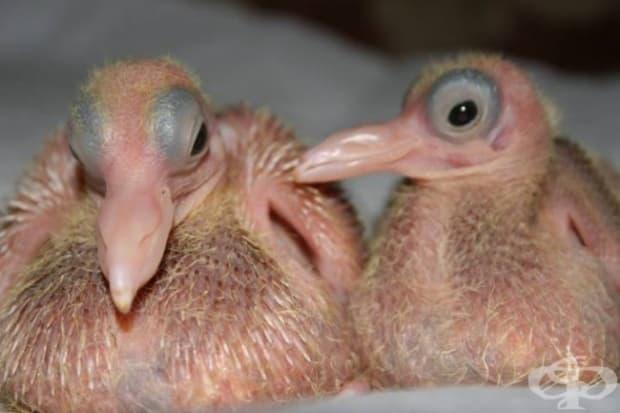 Новоизлюпени гълъбчета