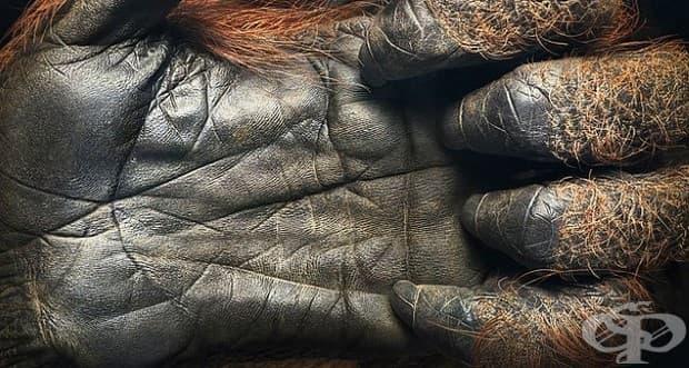 Ръка на 44-годишен орангутан