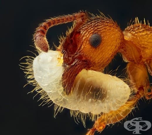 Мравка, която носи ларвата си