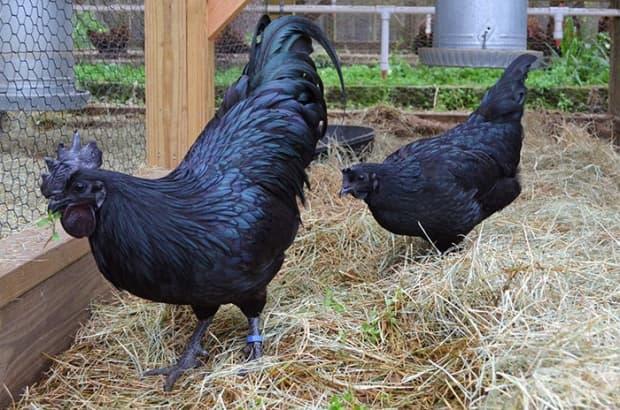Нека ви представим напълно черното пиле Аям Семани
