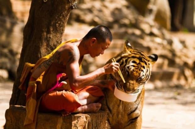 Монах споделя обяда си с тигър.