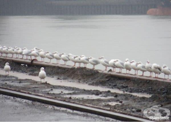Дисциплинирани чайки формират редица в началото на деня.