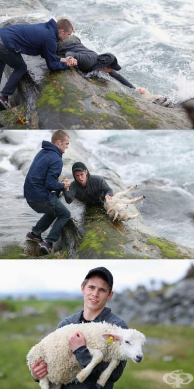 Двама мъже спасяват даващо се агънце.