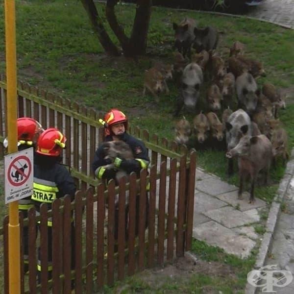 Диво прасенце заседнало в една ограда и цялото му семейство дошло, за да го спаси.