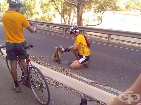 Колоездачи дават вода на коала.