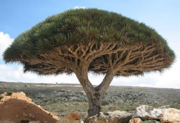 Драконово дърво, остров Сокотра.