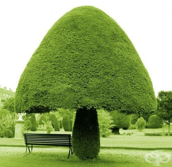 Дърво във формата на гъбата.