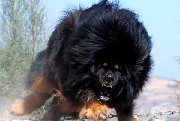 Една от най-необичайните породи кучета - тибетски мастиф.
