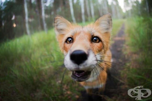 Запознайте се с Фрея – опърничавата домашна лисица