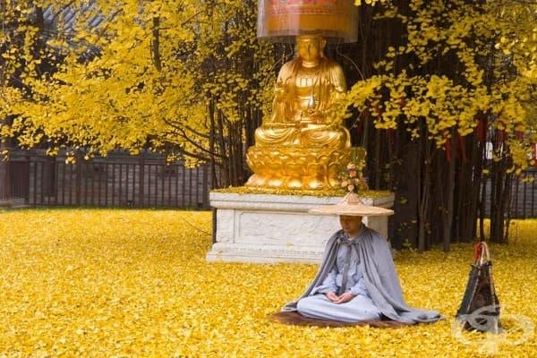 Гинко билоба на 1400 г. позлатява двора на будистки храм