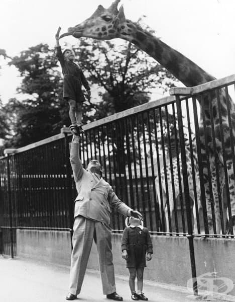 Пол Ремос, силен мъж, който работи в цирк, вдига сина си само с дясната си ръка, за да нахрани жирафа в лондонската зоологическа градина, 50-те години.