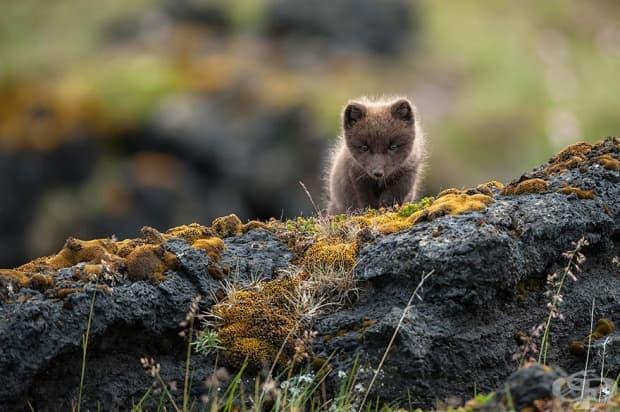 Арктична лисица
