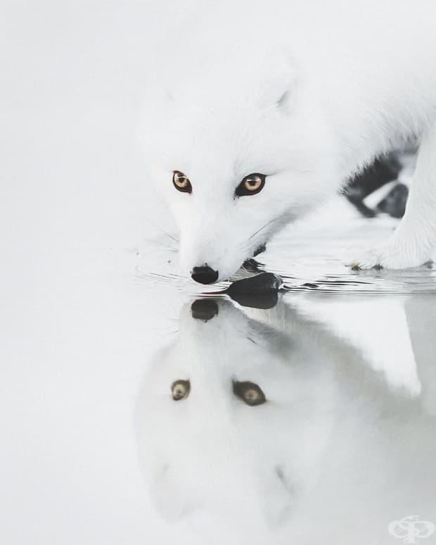 Арктическа лисица