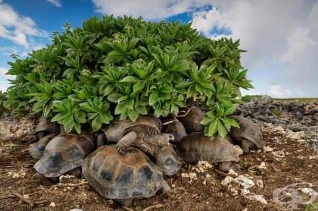 За да се скрият от тропическото слънце на атола Алдабра, гигантските костенурки се крият под всяка възможна растителност.