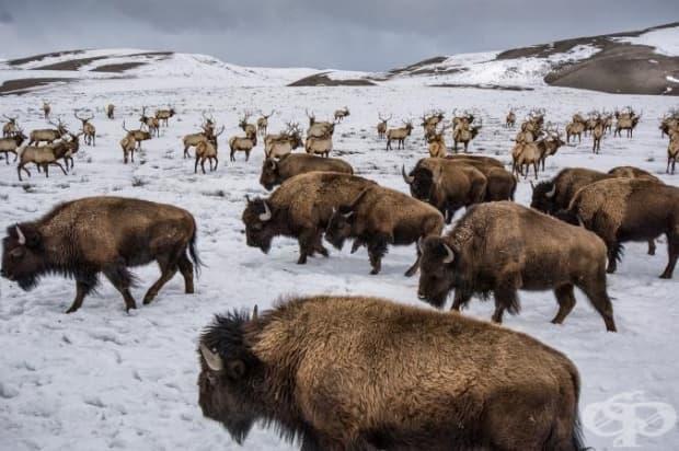 Бизоните и лосовете делят една и съща територия в Националното убежище за лосове близо до Джаксън, Уайоминг. И двата вида може би са носители на заболяването бруцелоза, което е заплаха за добитъка.