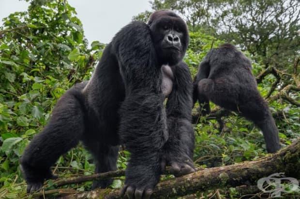 Водачът на 22-членното семейство от парка Мапуа се появява от джунглата, за да хвърли едно око на горския патрул. Паркът се справя чудесно с опазването на популацията на горилите, които са основната му туристическа атракция. Броят им расте.