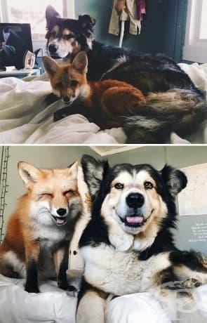 Лисицата Юпитер и кучето Муус са най-добри приятели от деня на своята среща