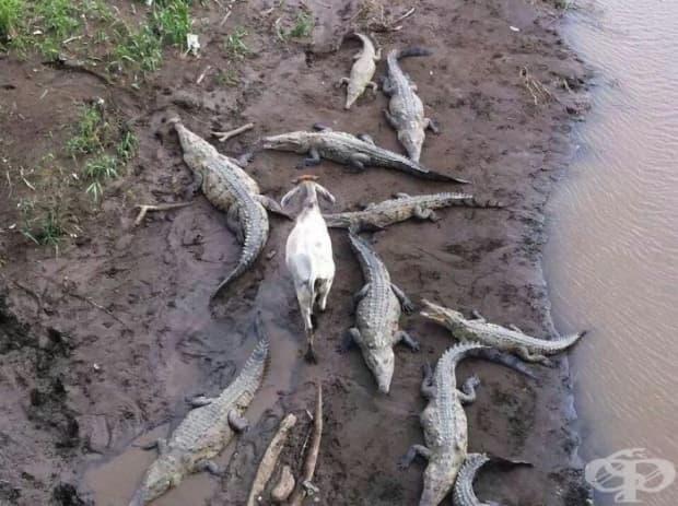 На тази крава не й пука, че е заобиколена от крокодили – ще си ходи, където си иска