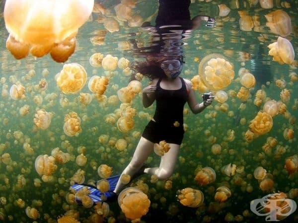 Жълти медузи, Палоу.