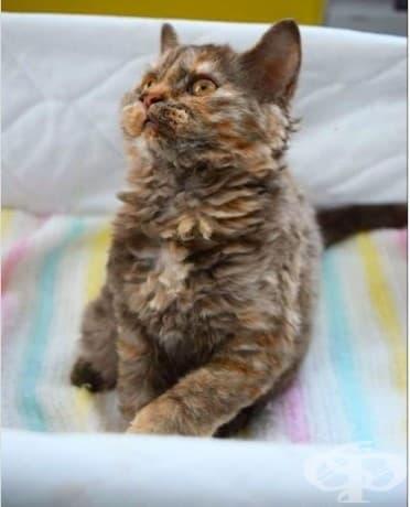 Запознайте се с очарователната порода къдрави котки