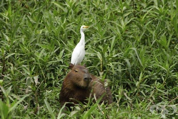 Защо животните харесват толкова много капибарите?